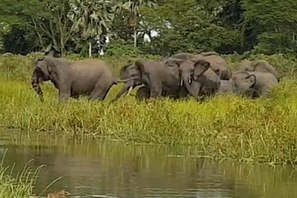 防不胜防:大象湖中喝水遭鳄鱼跃起咬住长鼻