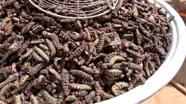两位科学家与企业商加强合作,旨在找到毛毛虫的生长规律,从而实现全年全天候养殖毛毛虫,以帮助西非地区解决营养不良和食品安全问题。