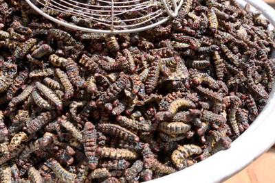 恐怖的毛毛虫农场:富含蛋白质将成可持续食物来源