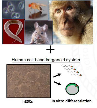 建立體外分化體系研究人生殖細胞發育
