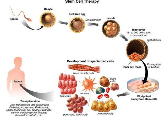 幹細胞的潛在醫療價值