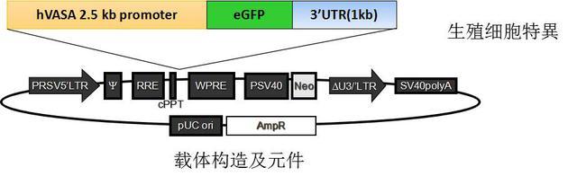 生殖細胞的熒光報告系統