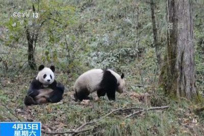 中国首次完成大熊猫野外引种试验