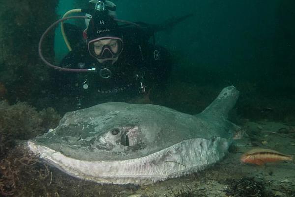 震惊!澳500斤重黄貂鱼被残忍切除胸鳍尾刺抛尸海底