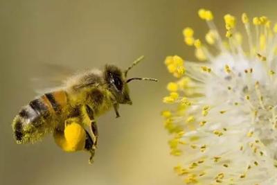假如蜜蜂灭绝,人类只能活四年?并非耸人听闻