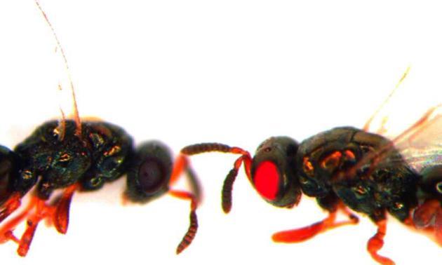 图右为使用CRISPR技术培育出的红眼扁头泥蜂,图左为正常扁头泥蜂。