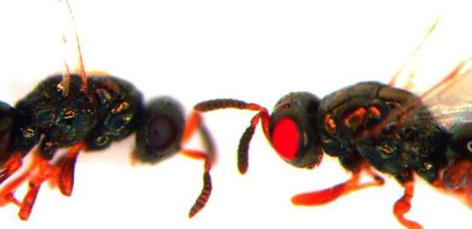 基因编辑培育出变种红眼黄蜂:子孙也将拥有红眼睛