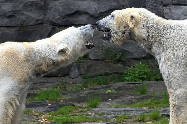 北极熊夫妇丧子后首相见