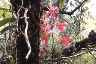 """云南发现植物中的""""熊猫""""火焰兰 现存不足十株"""