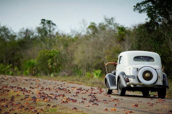 古巴百万螃蟹集体出动超壮观:密密麻麻占领公路