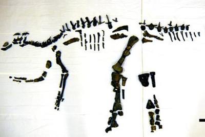 北海道发现日本最大恐龙全身骨骼 或系新物种(图)