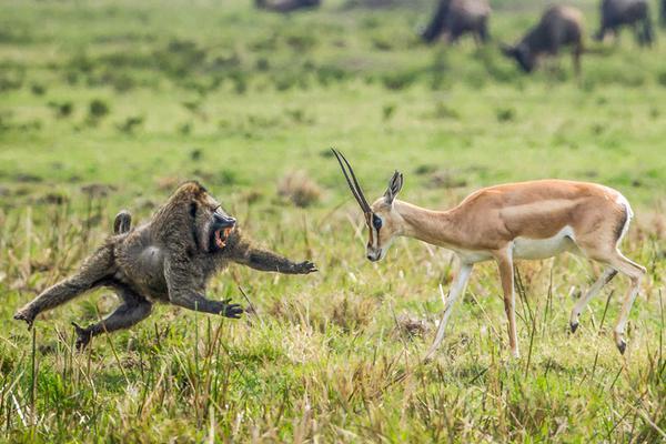 饥饿狒狒捕食瞪羚幼崽 与瞪羚妈妈对峙飞身秀功夫