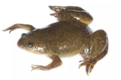 """60年前,这种蛙被当成人类的""""验孕棒"""""""