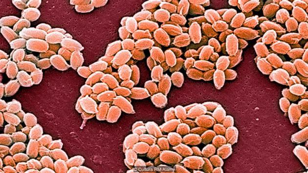 炭疽杆菌的孢子能够存活数十年之久