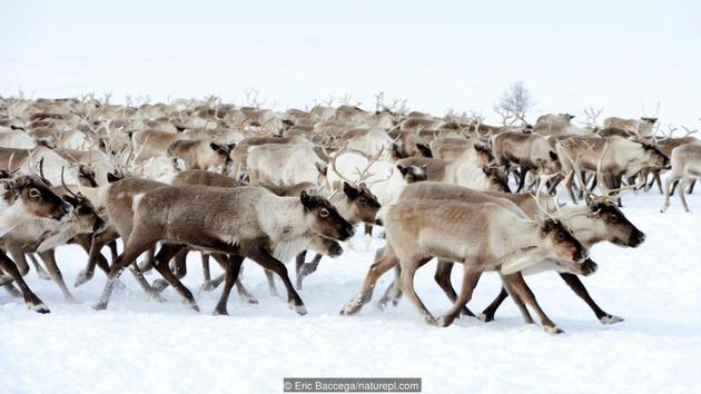 迁徙的驯鹿