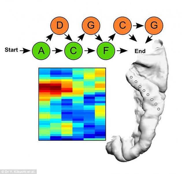 以便观察人类与其他灵长类动物在语言识别方面的大脑活动差异
