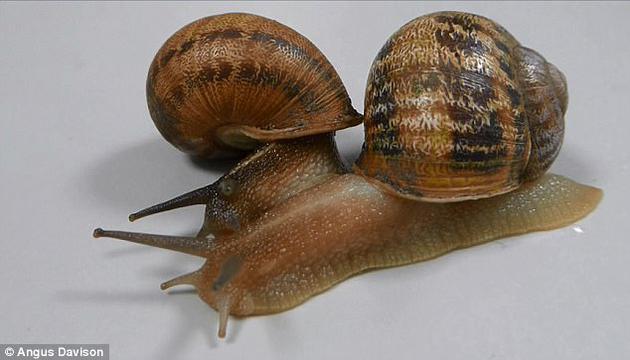 """经过一番周折之后,人们终于为Jeremy找到了两个潜在""""伴侣""""——Lefty和 Tomeau(如图)。不过,这两只本意是为了与Jeremy配对的蜗牛却互相吸引,成了一对。"""