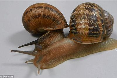 世界上最悲伤的蜗牛?处于三角恋中却被另两只抛弃
