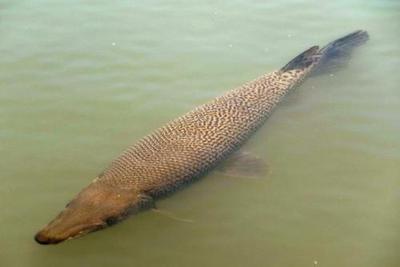 历时8年:酷似鳄鱼巨型食肉鱼在名古屋被捕(图)