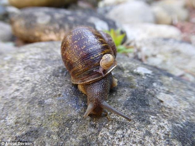 """科学家认为,""""左撇子""""蜗牛的独特螺旋与人类的一种罕见疾病——右位心——存在关联。图中是Jeremy,背上是Lefty和Tomeau产下的一只小蜗牛。"""