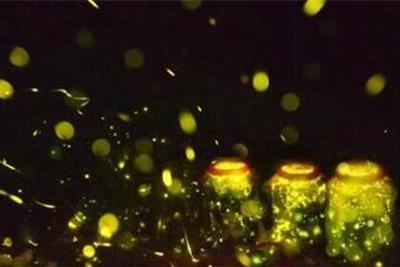 海口叫停萤火虫主题园 中国萤火虫灭绝风险引关注