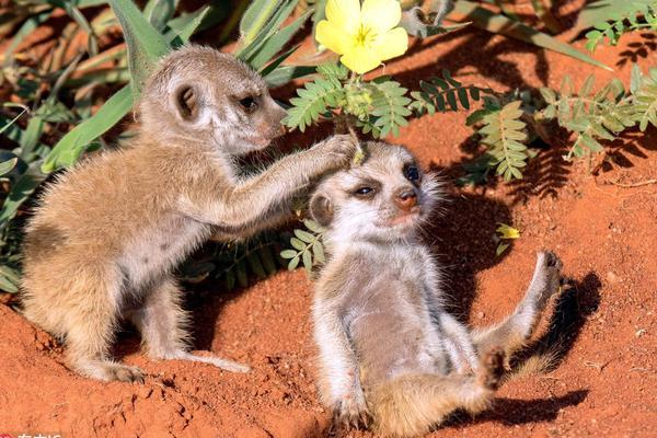 暖心一幕:南非猫鼬宝宝给好朋友头戴鲜花