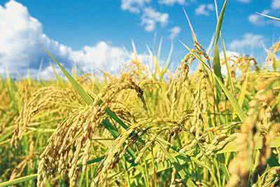 """我国水稻好""""先进"""" 不仅增产还减排"""