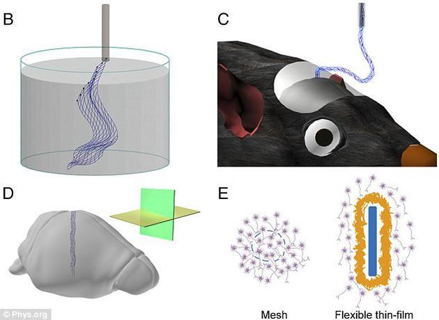 图B是网眼电子技术的原理图,独立网眼电子结构漂浮在水性溶液中,可以装在一个玻璃针中。图C是网眼电子物注入老鼠大脑,部分网眼结构下垂进入老鼠大脑。