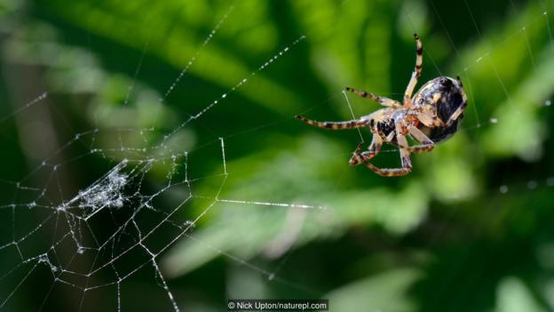 一只蛛网上的角类肥蛛(学名:Larioniodes cornutus)