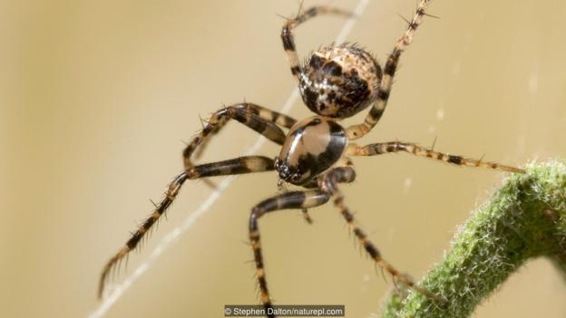 在另一只蜘蛛蛛网上的拟态蛛(Ero sp.)