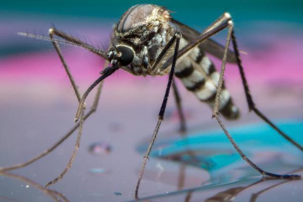 谷歌公司释放两千万只改造蚊子 欲抑制寨卡病毒
