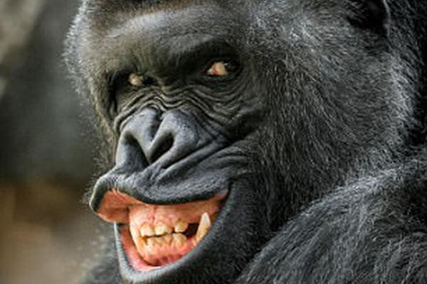 当仁不让的明星大猩猩:摆逗趣姿态显示手臂肌肉