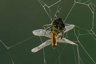 真实的蜘蛛侠:拇指甲大小的吠蛛吐丝横跨25米河流