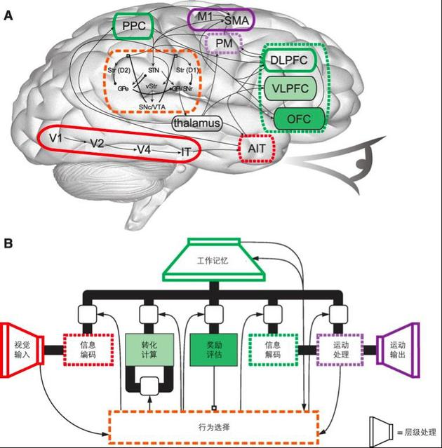 目前,人们对大脑的内部结构已经有了一定程度的认知。成年人的大脑约重1.21.4 kg,约为人体总重量的2%。大脑包括端脑,脑干和小脑。脑干主要作为连接端脑、小脑和脊髓的重要通道,小脑是运动的主要调节中枢,端脑是脊椎动物脑的高级神经系统的主要部分,分为左右两半球,可以控制运动、产生感觉及实现高级脑功能等。端脑主要包括大脑皮层和基底核,大脑皮层是主要由神经元的胞体组成的覆盖在端脑表面的灰质,皮层深处则为神经纤维形成的白质,白质中又有灰质团块,即为基底核。   尽管皮质的厚度仅为2~3 mm, 但是它是赋予