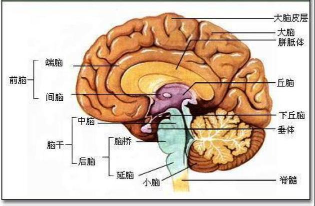 目前,人们对大脑的内部结构已经有了一定程度的认知.