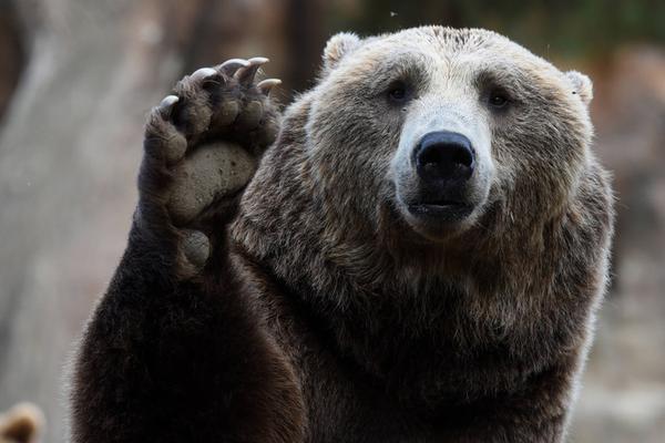 西班牙吃货棕熊焦急等饭 对镜头招手