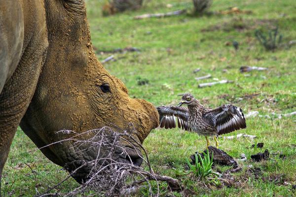 母爱的力量:鸟妈妈为保护鸟巢大战犀牛