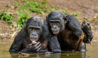 为何人类能建立社会而猿类不行?