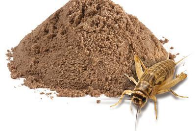 英国研究生尝试用蟋蟀做饼干 口感与普通饼干无异