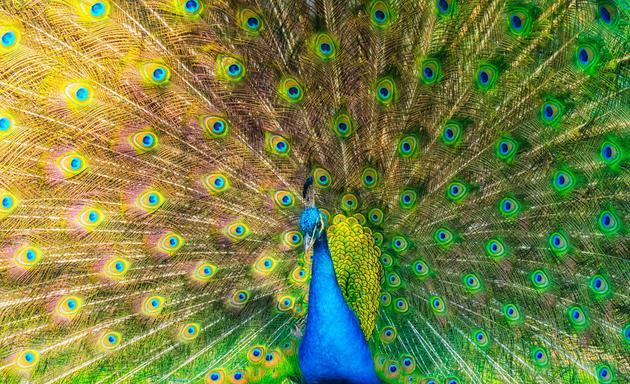 一只雄性孔雀展开美丽的尾巴,它在向雌性释放求爱信号,研究显示,雌孔雀并不关注美丽的羽毛,而是被雄孔雀的屁股所吸引。