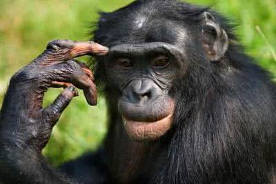 黑猩猩也懂石头剪刀布游戏 理解能力相当于4岁儿童