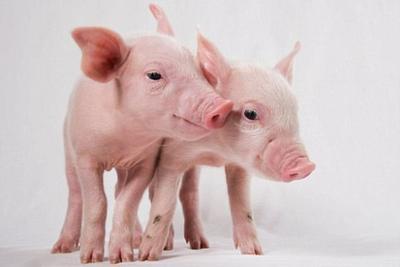通过基因编辑有望将猪器官安全移植人类患者