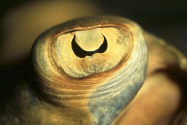 你知道鱼儿的眼睛有多奇妙吗?U型瞳孔功能仍未知