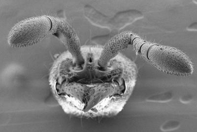 基因变异实验揭晓蚂蚁如何形成高效群体行为能力