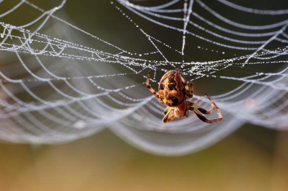 研究人员观察显示,当出现日食时,圆网蛛会撕破自己的蜘蛛网。
