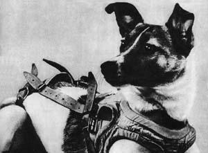 """身着""""工作服""""的苏联小狗""""莱卡""""。它为人类航天事业的发展勇敢地献出了生命"""