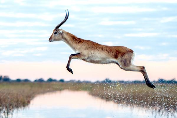 南非红驴羚大撤离 最优雅逃生者飞跃4米河道身手了的