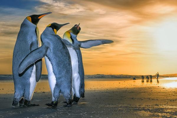 南美洲帝企鹅悠闲散步组团看日出 萌物来袭堪比大片