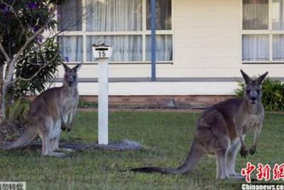 """袋鼠数量太多 澳大利亚人提倡用""""吃""""解决"""