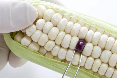 欧盟最高法院力挺意大利农民,支持转基因玉米的种植